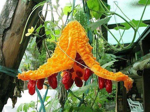Suphi Pflanze
